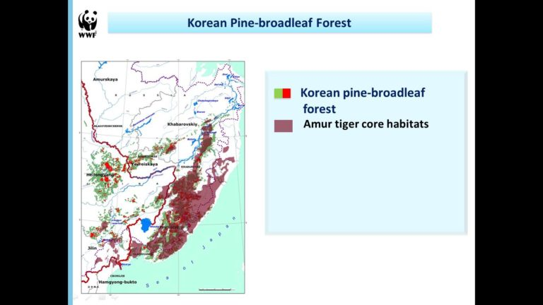 The Korean pine, a source of pine-nuts, is a vital species for the diversity and productivity of unique high conservation value forests in the southern Russian Far East, where the endangered Amur tiger and leopard live.