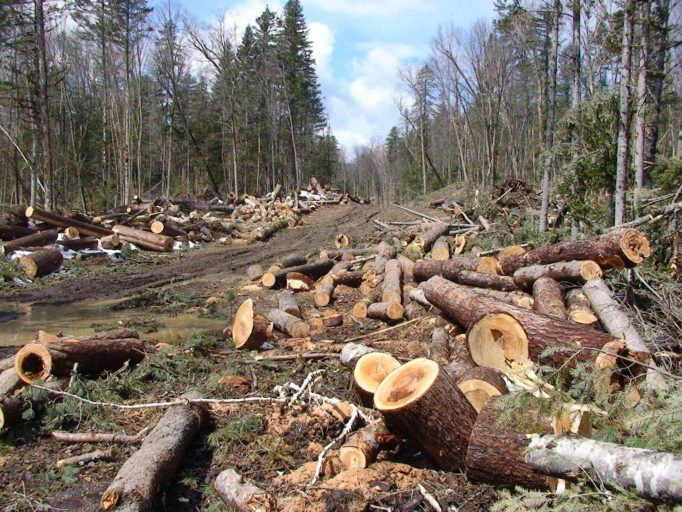 Illegal logging is the primary cause of the degradation of cedar-broadleaf forests in the Russian Far East. Photo credit: WWF Russia.
