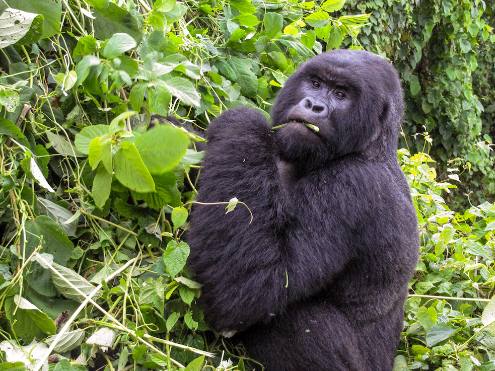 Thousands of animals call the Congo Basin home, including the critically endangered mountain gorilla (Gorilla beringei beringei), which lives only in high-altitude rainforests of the Democratic Republic of Congo, Rwanda and Uganda. Image by John C. Cannon/Mongabay.
