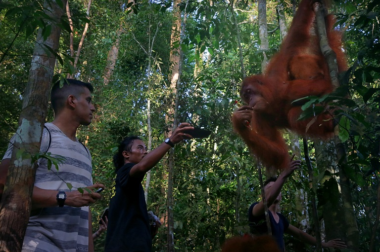3. A local guide feeds an orangutan as tourists watch in Mount Leuser National Park. Photo by Aria Danaparamita