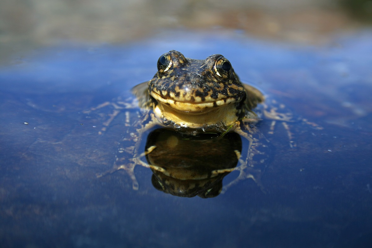 Yosemite s yellow legged frogs bounce back from near for Sierra fish in english
