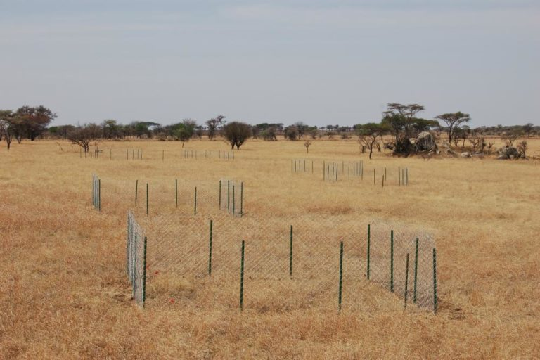 A block of plots is fenced off in the Serengeti, Tanzania. Photo by T. Michael Anderson.