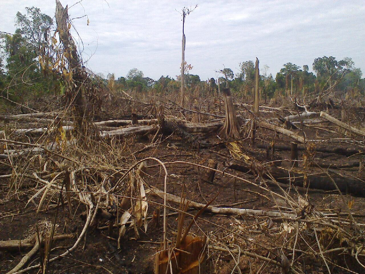 Deforestation by Plantaciones de Pucallpa SAC. Photo by Iván Flores, leader of the community of Santa Clara de Uchunya