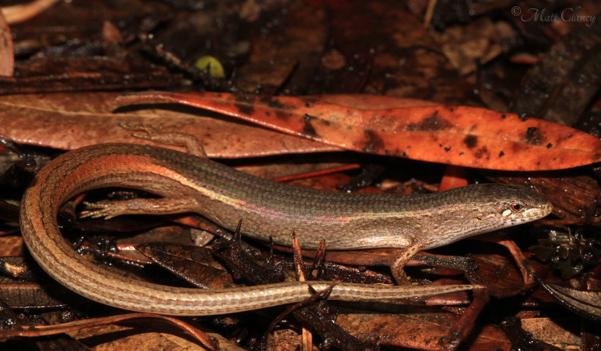 The Weasel Skink was more common in recently burned locations within the Beecroft Weapons Range. Photo by Matt Clancy. Source: Wikimedia Commons, licensed under CC BY 2.0.
