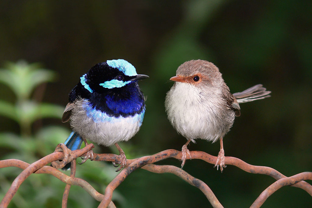 The superb fairy=wren was more common within the impact area than outside it. Photo by Benjamin. Source: Wikimedia Commons, licenced under CC BY-SA 3.0