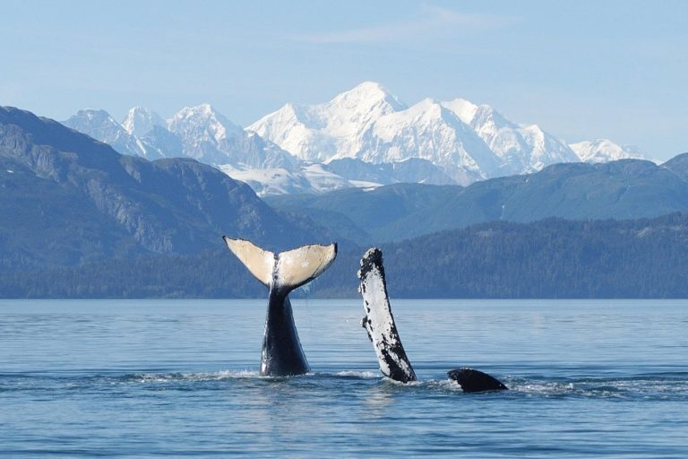 A humpback whale mother and calf in Glacier Bay National Park, Alaska. Credit: U.S. National Park Service photo under NMFS Scientific Research permit #945-1776-01