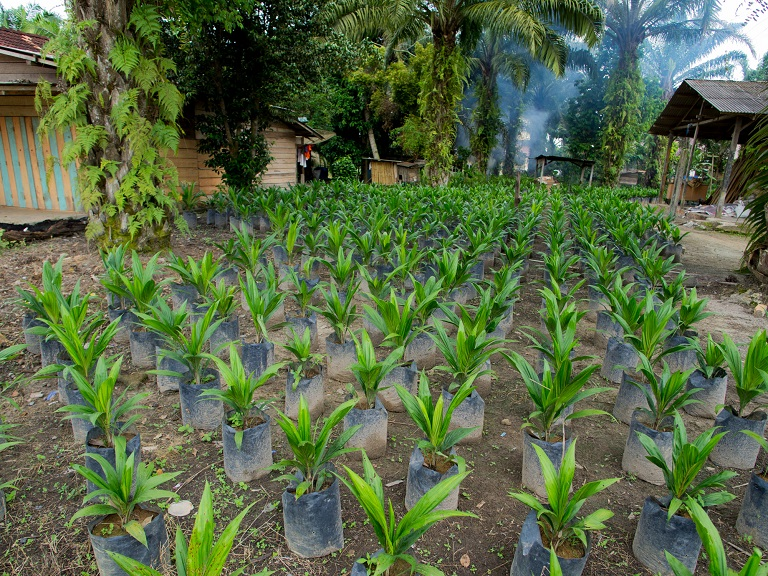 An Indonesian nursery nurtures shoots of oil palm before they're planted in plantations. Photo by: Aul Rah/Flickr