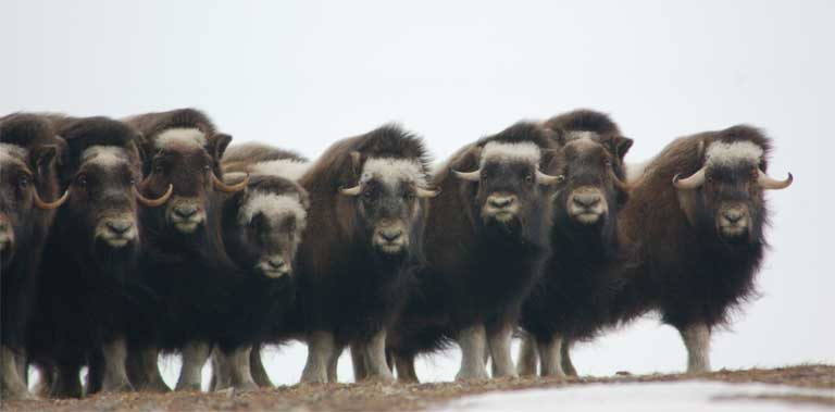 Juvenile muskoxen. Photo courtesy of Joel Berger / WCS