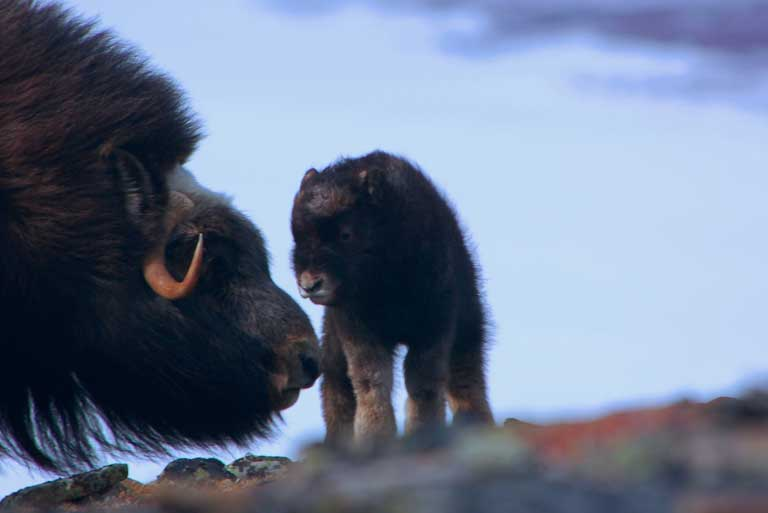 Newborn muskoxen. Photo courtesy of Joel Berger / WCS