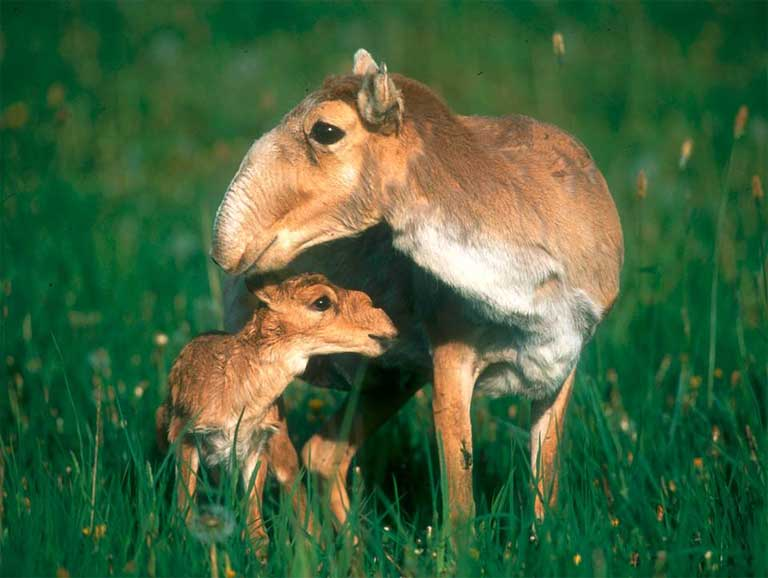 Saiga female and young. Photo by R. Reading