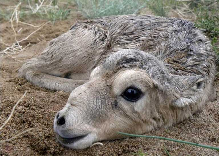 Newborn saiga calf. Photo courtesy of Buuveibaatar / WCS