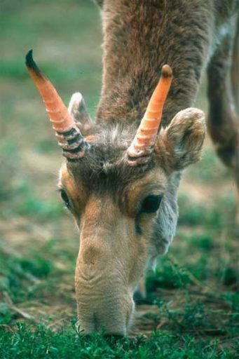 Saiga male. Photo by R. Reading