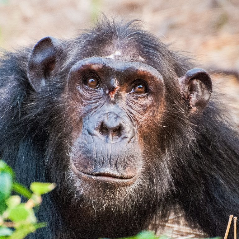 A low-ranking young female chimpanzee wounded from attempting to enter the female social hierarchy. Fighting to improve their social status after initially joining the pecking order appears to be so costly for adult females that they prefer to just wait in line until those above them die. Photo by Ian C. Gilby. Courtesy of Steffen Foerster/Duke University