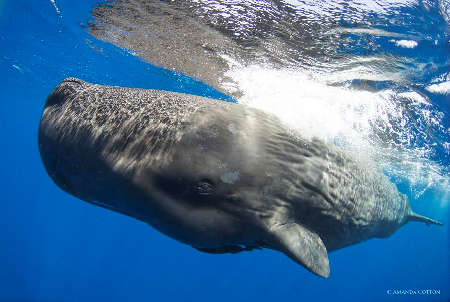 Sperm whale in the Dominica. Photo Courtesy of The Dominica Sperm Whale Project