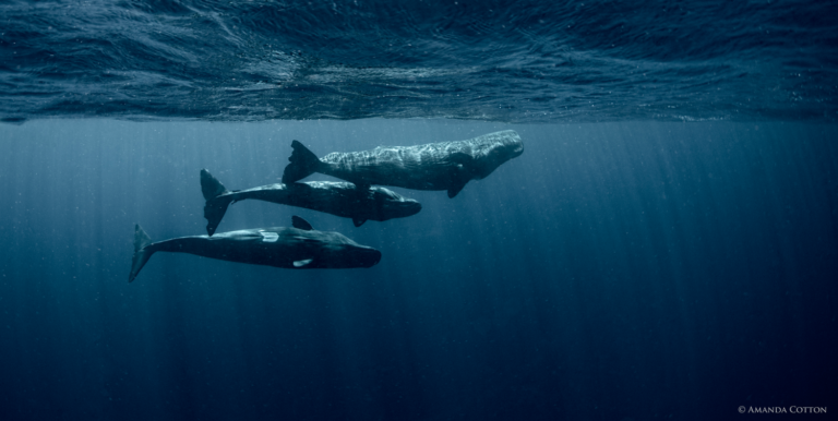 Dominica sperm whales near the surface. Photo Courtesy of The Dominica Sperm Whale Project