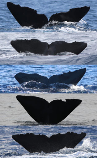 Figure 3: Sperm whales in the Dominica show their tails. Distinct crevices and bite marks help researchers identify individuals. Photo Courtesy of The Dominica Sperm Whale Project