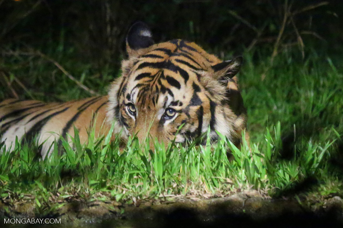 tigers face unprecedented threat from transport projects wwf