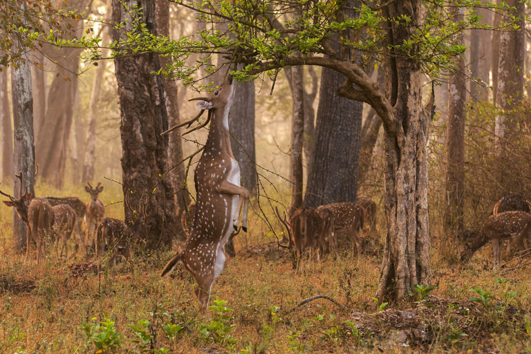 Spotted deer in the Sundarbans. Photo by Yathin S Krishnappa. Source: Wikimedia Commons, licensed under CC BY-SA 3.0.