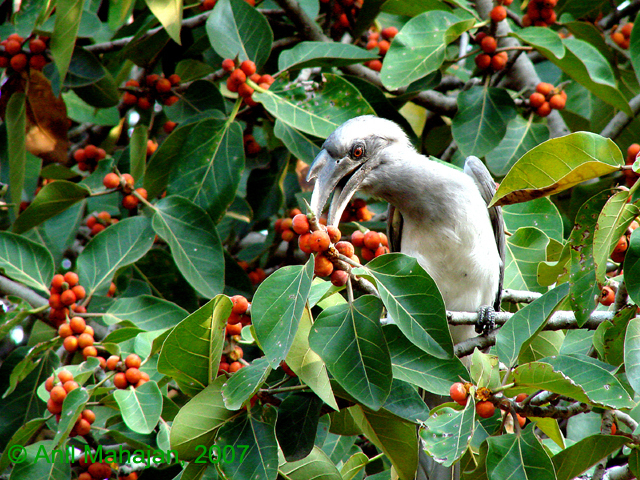Grey hornbill feeding on figs in India. Image by Anil Mahajan via Wikimedia Commons