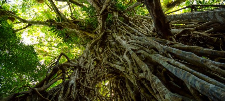 A famous strangler fig (Cathedral Fig) in Queensland, Australia. Image by James Niland / Flickr – Creative Commons