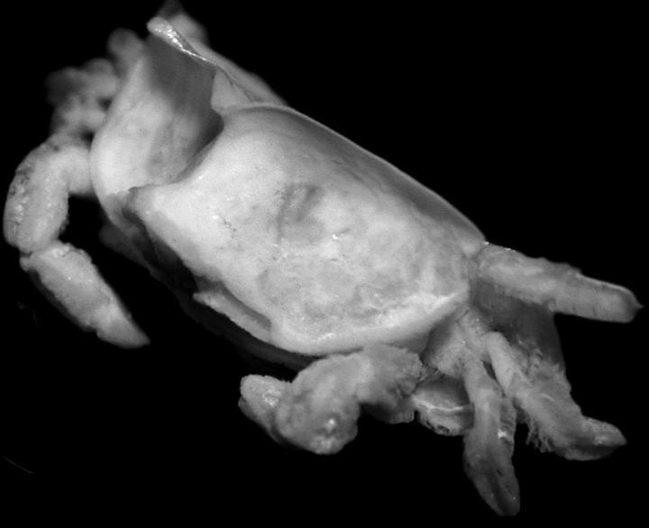 pea-crab-2