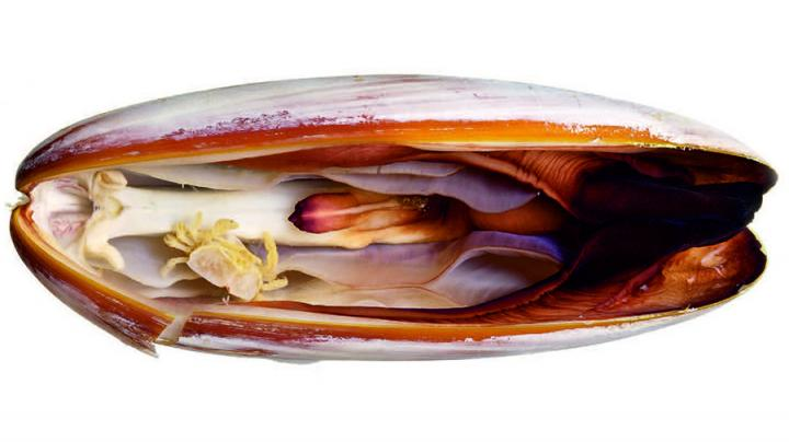 The new pea crab species Serenotheres janus photographed in its host, date mussel Leiosolenus obesus. Photo credit: Zachariah Kobrinsky and David Liittschwager.
