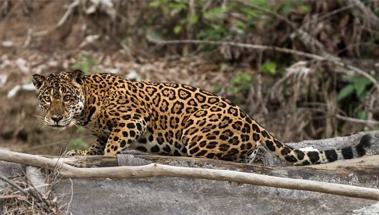 A female jaguar (Panthera onca) pauses on a riverbank. Even species that aren't typically associated with rivers, such as jaguars, make use of riverbanks to hunt for prey. Photo © Tom Ambrose