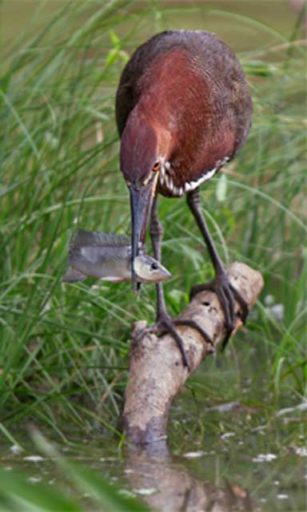 A rufescent tiger heron (Tigrisoma lineatum) caught in the act. Species such as this will see both their habitat and their fish prey impacted by dam construction. Photo © Tom Ambrose