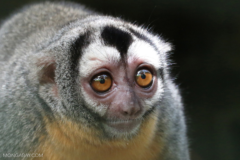 A night monkey (Aotus sp.). With the coming of dams, indirect deforestation due to additional infrastructure (transmission lines, roads, enlarged settlements, etc.), pose an even greater threat to forest cover than the dams and reservoirs themselves. Amazon dams and the roads they spawn also increase access for illegal loggers. Rainforest wildlife suffer widespread habitat loss and fragmentation as a result. Photo by Rhett A. Butler