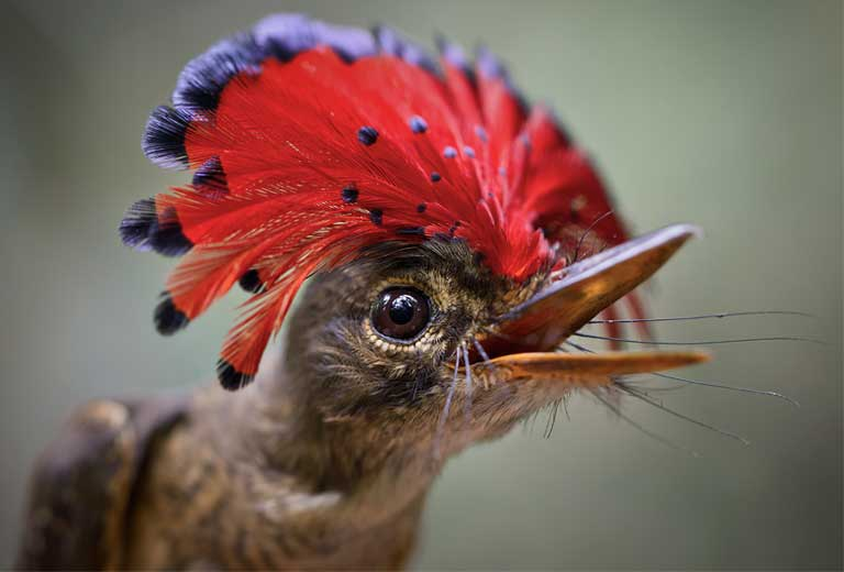 A royal flycatcher (Onychorhynchus coronatus). Scientists urge Brazil to take an integrated, basin-wide approach to hydropower development in the Amazon, and to pursue alternatives to hydropower for energy production in order to protect the region's vast web of life. Photo by Rhett A. Butler