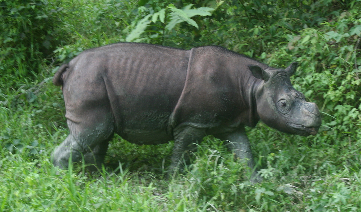 Tam, one of the captive Bornean rhinos representing hope for assisted reproduction efforts. Photo by Jeremy Hance.