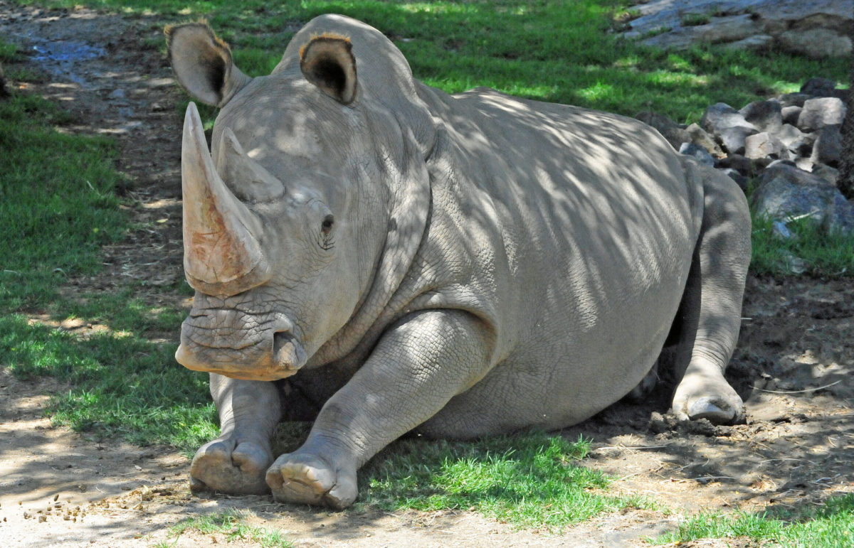 Angalifu, who at the time of his death in 2014 at the San Diego Zoo Safari Park, was one of six living northern white rhinoceroses. Photo by Heather Paul/Flickr.