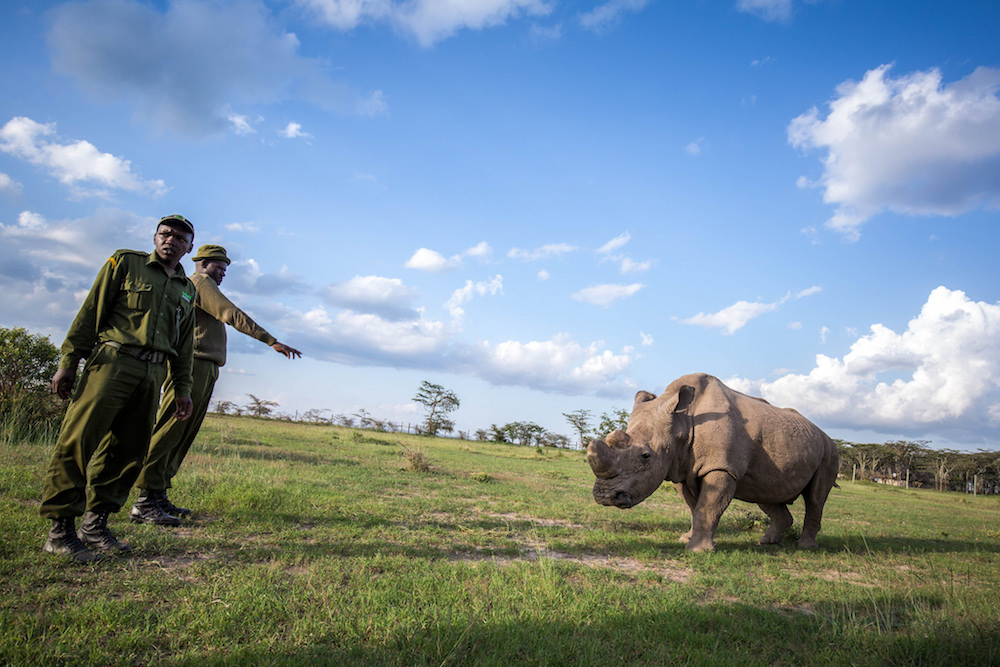 Sudan, the last male northern white rhino, lives under constant guard in Ol Pejeta. Photo by Make it Kenya Photo / Stuart Price.