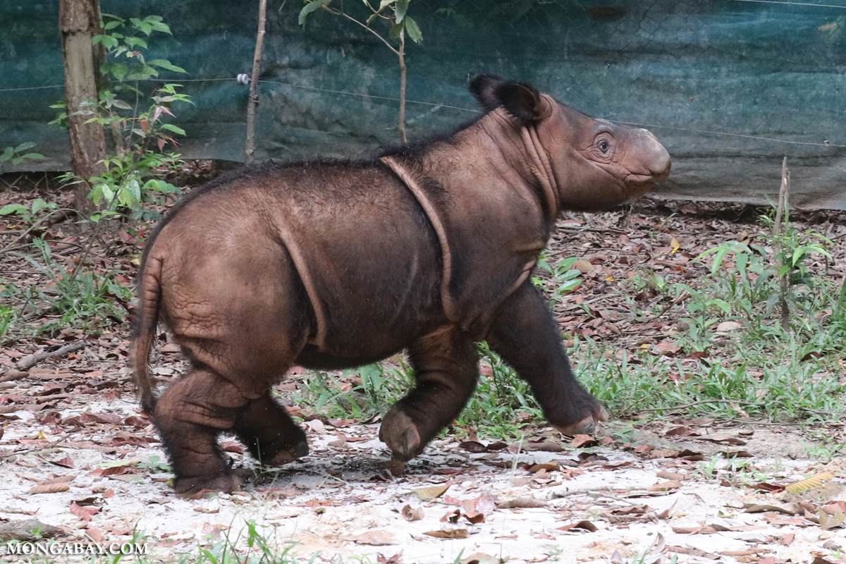 A Sumatran rhino calf at the Way Kambas sanctuary in Indonesia. Bornean rhinos' genetic diversity could be key for the future of the Sumatran species as a whole. Photo by Rhett A. Butler.