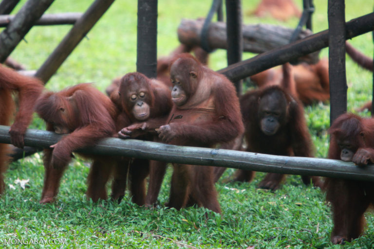 TRAFFIC's survey observed 51 orangutans in Thailand, but found records of only 21 animals in the 2014 International Studbook of the Orangutan. Photo by Rhett Butler.