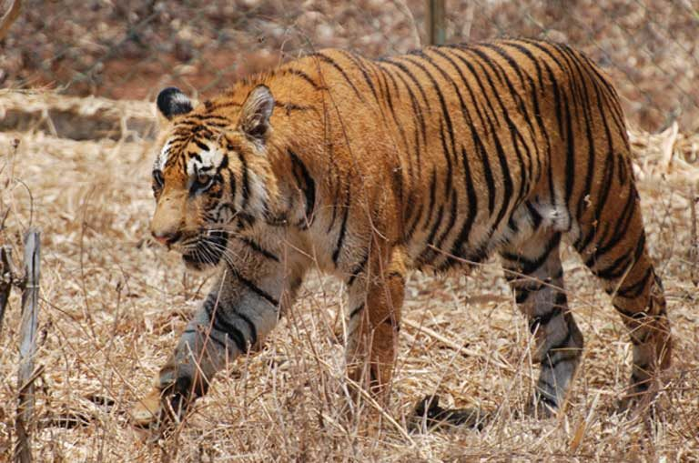 Nepal's Chitwan National Park is one of the last strongholds of the Bengal tiger. Considered a conservation success story, this World Heritage Site sustains 125 of the endangered big cats on 1,000 square kilometers (621 square miles) of land, up from about 50 tigers in 1998. Photo by Paul Mannix on flickr