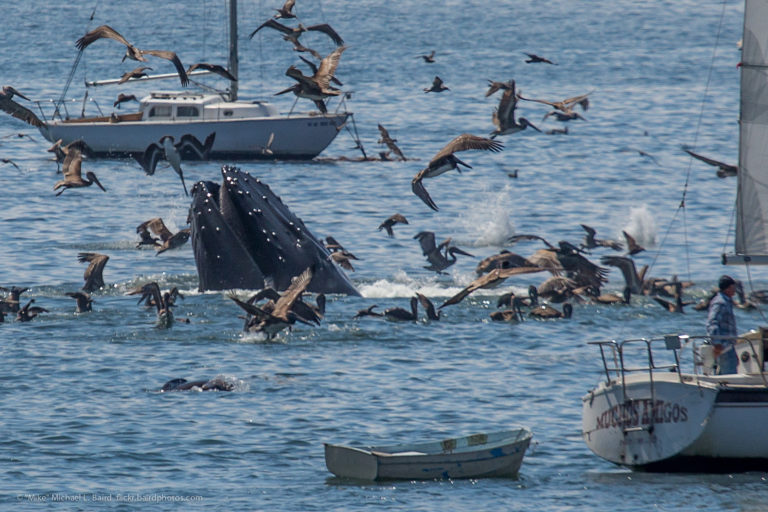 Humpback whale lunge feeding in the bay by the shore in Port San Luis, Avila Beach, CA. Photo credit: Mike Baird.