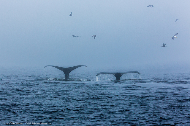 Humpback whales diving as they lunge feed in Morro Bay, CA. Photo credit: Mike Baird.