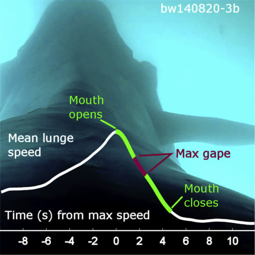 Rorquals lunge feeding on krill open their mouths at peak speed to maximize consumption and minimize energetic expenditure. Photo credit: Cade et al. 2016.