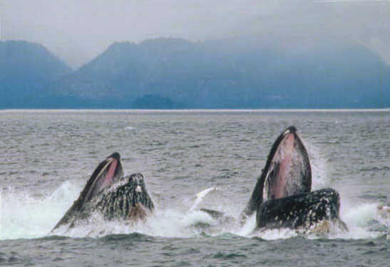 Humpback whales surfacing while lunge feeding. Photo credit: NOAA.