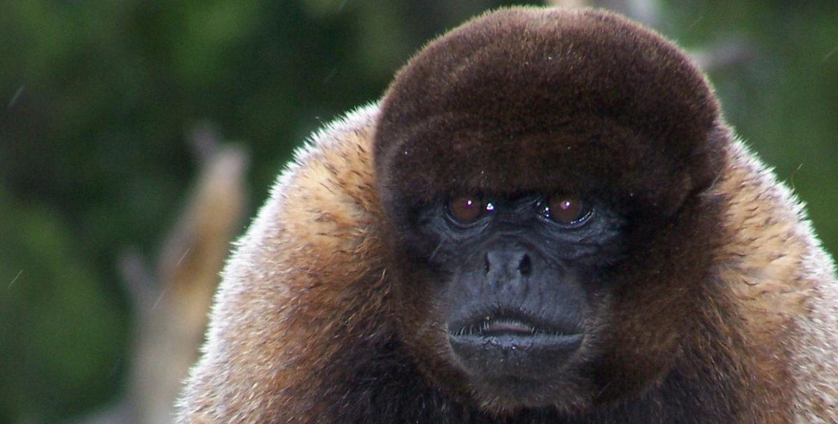 mono-selva-peruana
