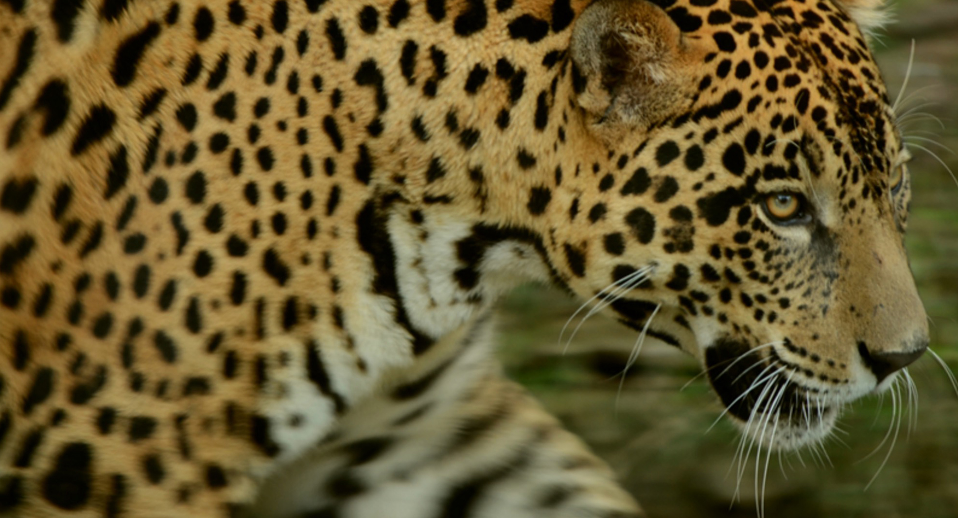 Wildlife For Sale Jaguars Are The New Trafficking Victims In Bolivia