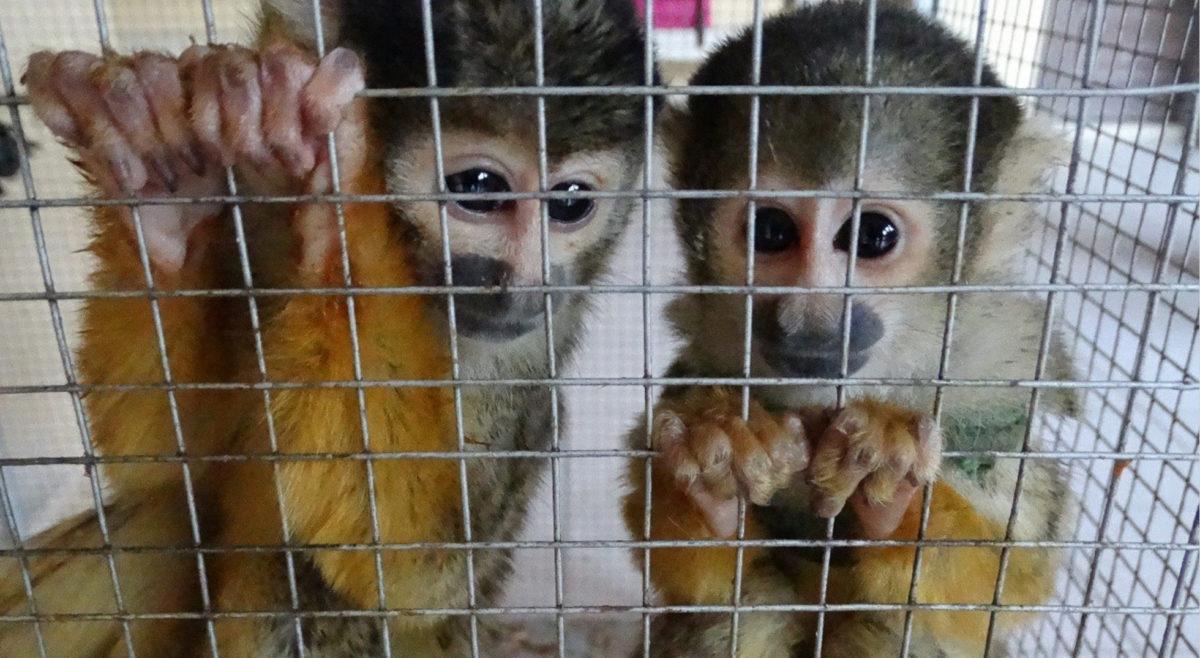 wildlife-trafficking-bolivia-5