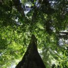An Amazon rainforest tree in Peru. Photo by Rhett A. Butler