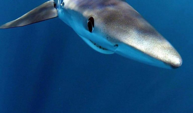 The conservation status of the blue shark has worsened in the Mediterranean Sea since its last assessment in 2007. Photo by Michael Bear.