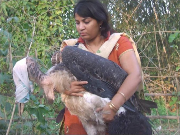 Purnima Barman rescuing a Greater Adjutant juvenile that has fallen out of its nest — something the birds unfortunately often do. Photo courtesy of Aaranyak.