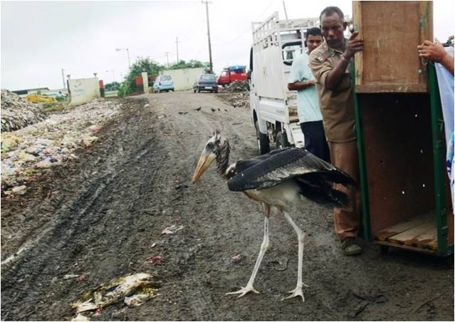 "The release of a rehabbed chick at a rubbish dump, a ""habitat"" which the Greater Adjutant now uses to replace India's lost and degraded wetlands. Photo by Purnima Devi Barman"