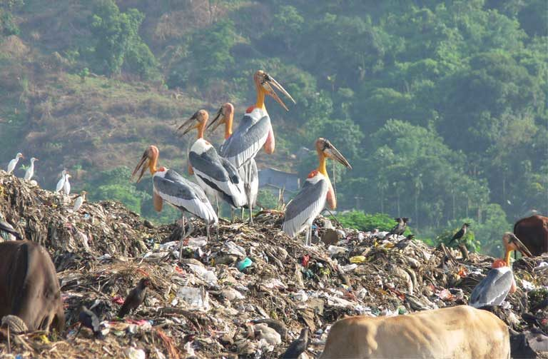 A Greater Adjutant stork gathering in Assam, India. Photo by Rathin Barman