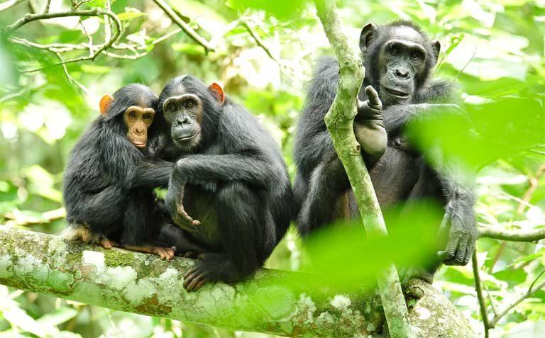 1-chimps