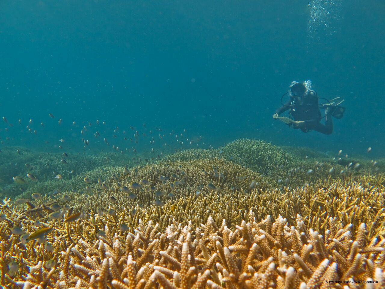 A researcher dives into the waters of Southeast Sulawesi to monitor reef conditions. Photo by Evi Nurul Ihsan/WWF-Indonesia.